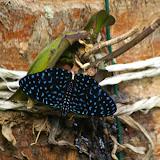 Hamadryas velutina BATES, 1865, mâle. Abrâo (Ilha Grande, RJ), 19 février 2011. Photo : J.-M. Gayman