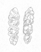 molari-mus-apodemus