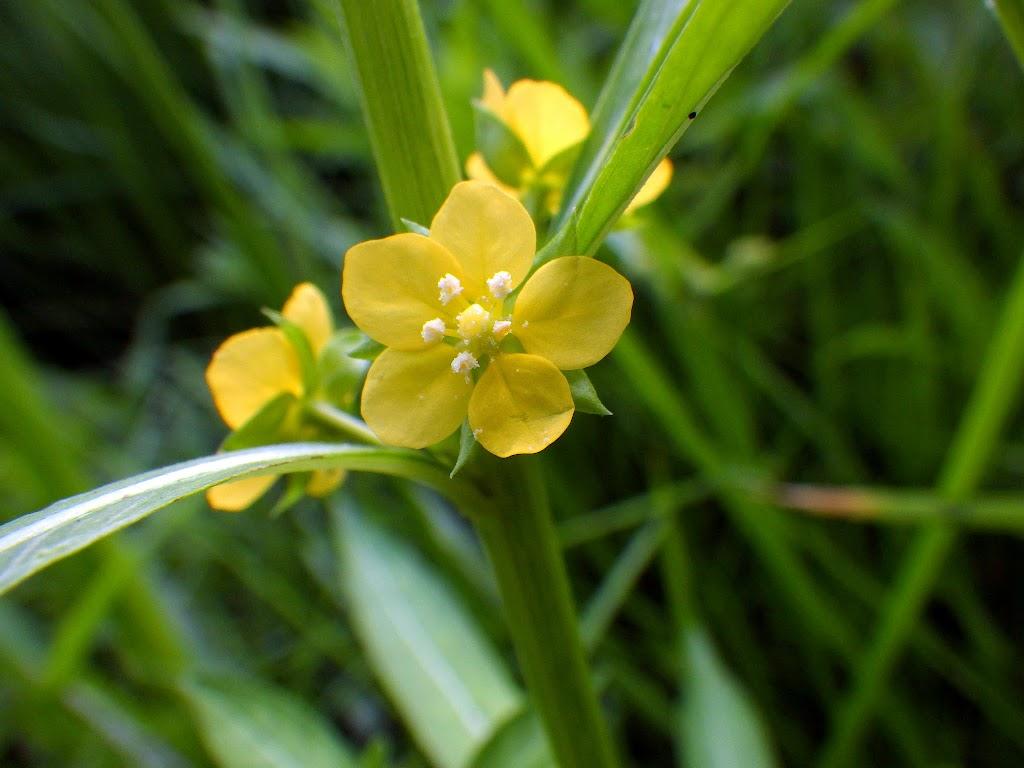 ウスゲチョウジタデの花1