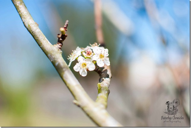 Bradford Pear Bloom WW April 4th (©Jenny @ Flutterbye Chonicles)