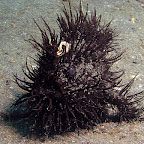 Hairy frogfish (Lembeh Strait)