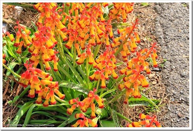 160226_UCDA_Lachenalia-aloides-quadricolor- -Aloe-microstigma_018