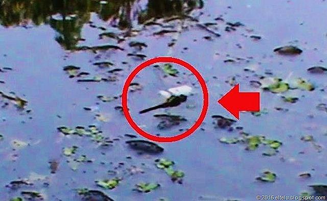 Capung sedang Bertelur di Air Kolam