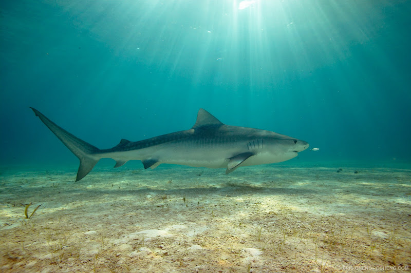 "Photo: A female tiger shark named ""Baby Cakes"" (Galeocerdo cuvier) (Tiger Beach)"