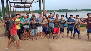 Mangsa Dua Ekor Kambing, Warga Tangkap Ular Piton Sepanjang Tujuh Meter