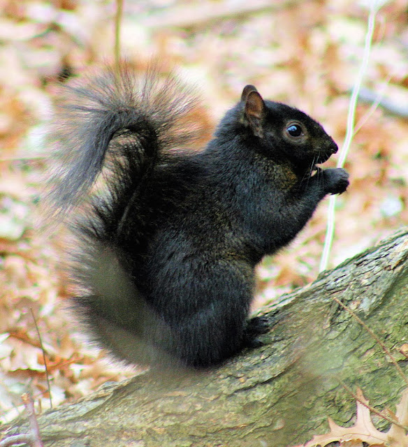 Most Gray Squirrels in Central Ontario are the black (melanistic) form