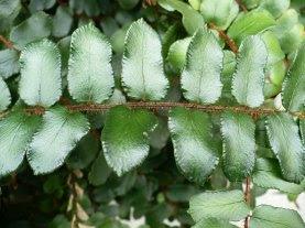 Ciemnotka okrągłolistna  łodyga i liście Pellaea rotundifolia leaves
