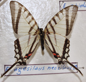 E. AGESILAUS NEOSILAUS.JPG