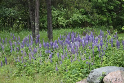 Patch of Lupines
