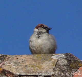 House Sparrow. Carassonne. Copyright © Shelley Banks, all rights reserved.