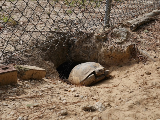 gopher turtle at the entrance of its burrow in Pensacola, Florida