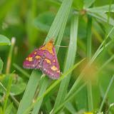 Crambidae : Pyraustinae : Pyrausta purpuralis (L., 1758). Les Hautes-Lisières (Rouvres, 28), 5 juillet 2012. Photo : J.-M. Gayman