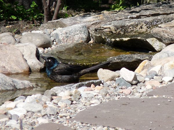 male and female Grackles bathing