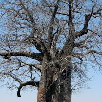 A 1,700 year old Baobob tree