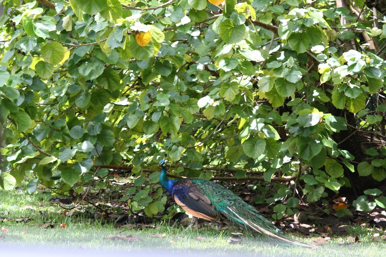 Wordless Wednesday: Peacock on the Side of the Road
