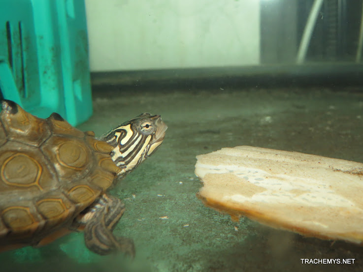 mes tortues (BK) - Page 11 IMG_2236