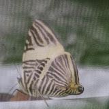 Colobura annulata Willmott, Constantino & J. Hall, 2001. El Valle de Antón, 750 m (Coclé, Panamá), 31 octobre 2014. Photo : J.-M. Gayman