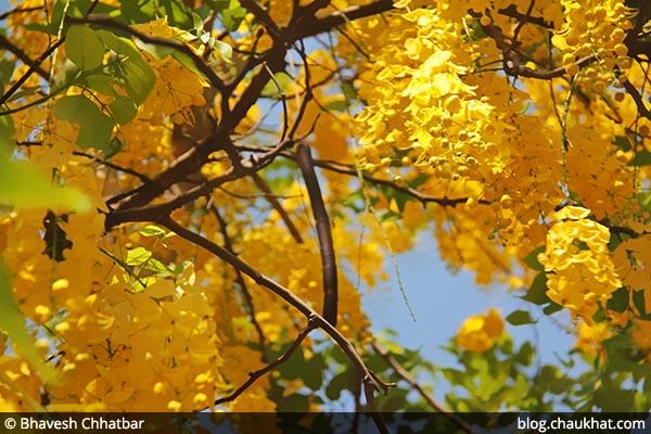 Kritamala AKA Amaltas, Cassia fistula, Golden Shower Tree, Garmalo, Bandar Lathi, Bahava, Sunari, Aragvadha, Chaturangula, Suvarnaka