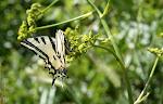 Papilio alexanor.jpg