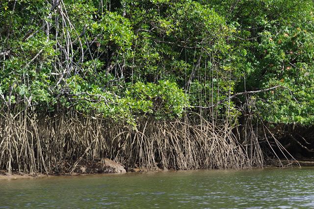 Palétuviers (Avicennia germinans) le long de l'Approuague, 8 novembre 2012. Photo : J.-M. Gayman