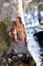 Hairy Woodpecker Jan 18 2008-10.jpg