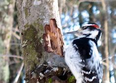 Hairy Woodpecker Jan 18 2008-10.jpg