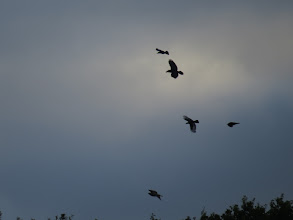 Photo: 12 Aug 13 Priorslee Flash: A real mix over the wooded area S of The Flash: 2nd down with the big diamond tail is a Raven; below it is one of the local Crows showing extensive white areas in the wings (this feature is almost never seen in Rooks, Jackdaws or Ravens); at the bottom a Buzzard. (Ed Wilson)