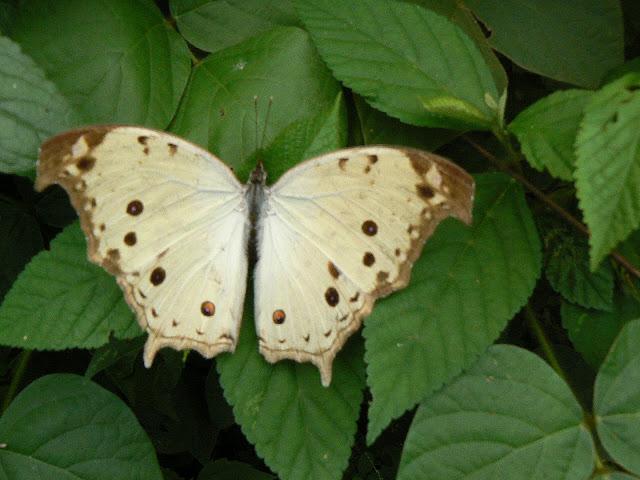 Protogoniomorpha parhassus parhassus (DRURY, 1782). Ebogo (Cameroun), 27 avril 2013. Photo : C. Renoton