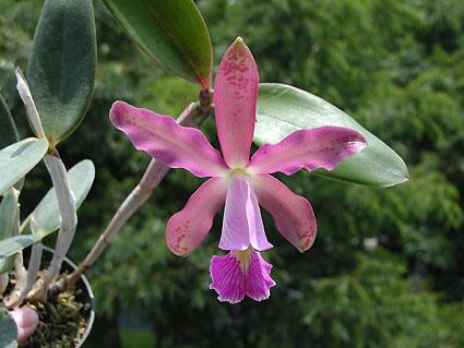 Растения из Тюмени. Краткий обзор - Страница 2 C_schilleriana_dolosa