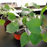 cultivo de meristemas para obtencion de batata libre de virus - 0024.JPG