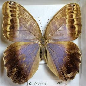 C.LIVIUS.JPG