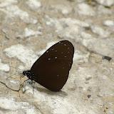 Euploea mulciber portia FRUHSTORFER, 1904. Crocker Range, 20 km nord-ouest de Tambunan (Sabah, Malaisie, Bornéo), 18 août 2011. Photo : J.-M. Gayman