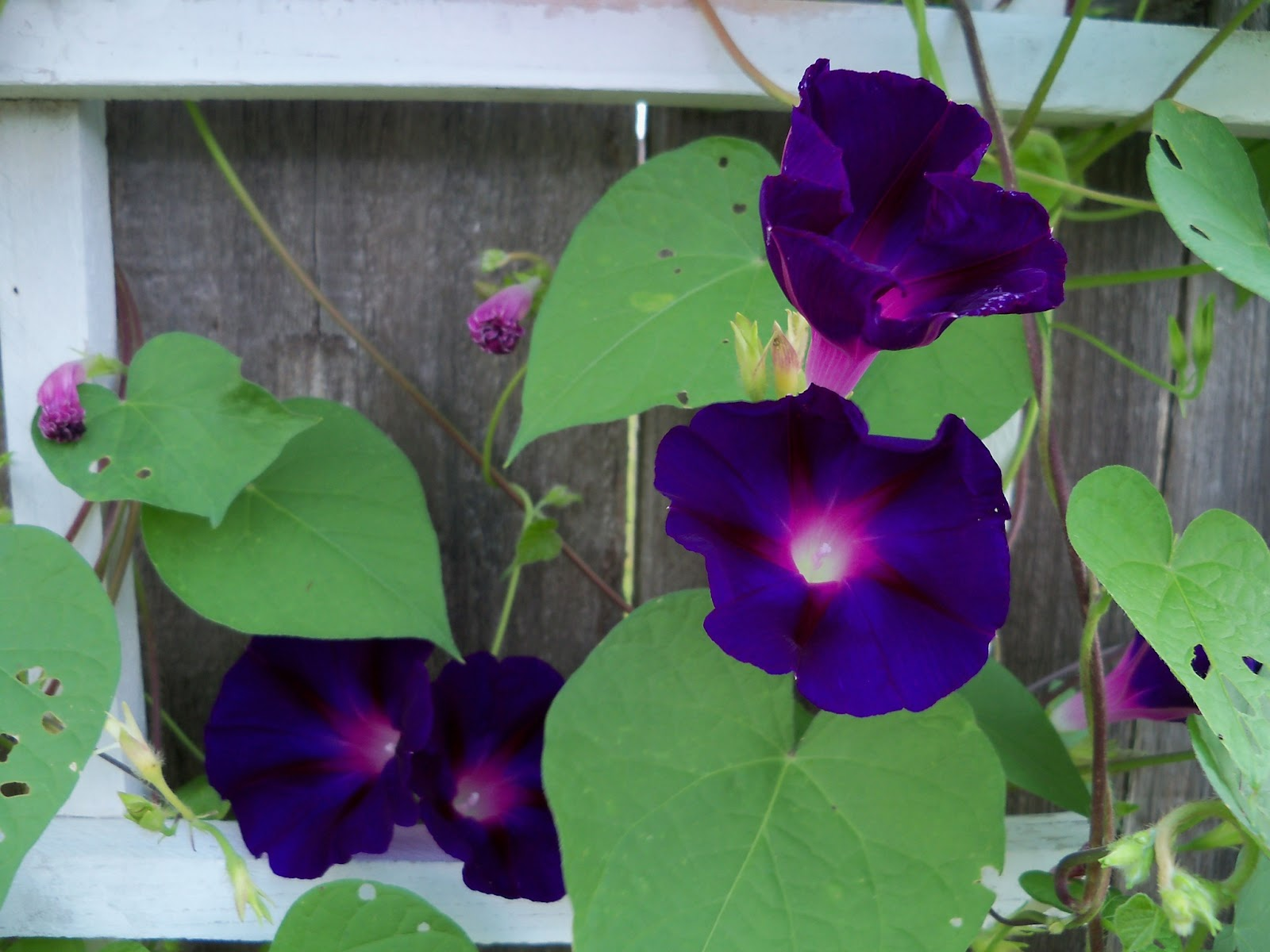 Gardening 2011 - 100_8123.JPG