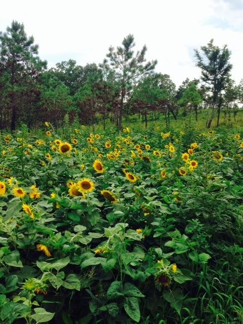Sunflowers for dove hunting, North Carolina