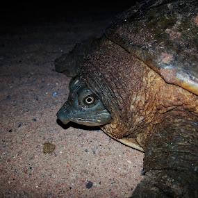 Indian Flapshell Turtle by Chhaditya Parikh - Instagram & Mobile Android