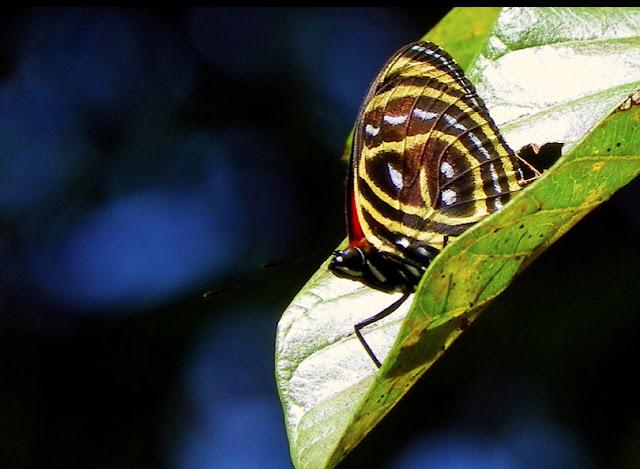 Callicore astarte selima (GUENÉE, 1872). Pitangui (MG, Brésil), 1er juin 2013. Photo : Nicodemos Rosa