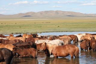 V Mongoliji je ogromno konj