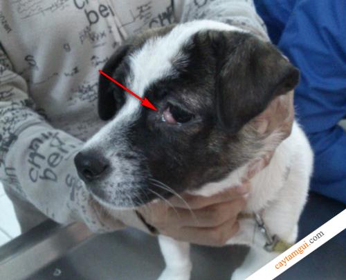 cắt mống mắt ở chó