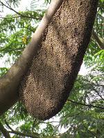 A huge honey bee hive!