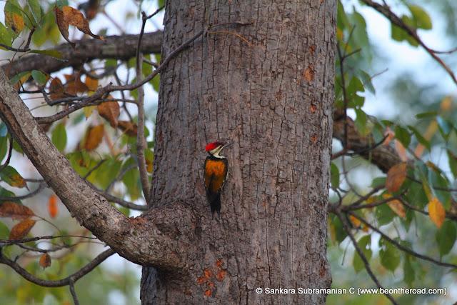 Common Flameback Woodpecker