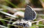 Bølleblåfugl, optilete2.jpg