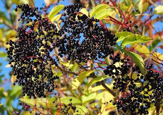 Elderberries, The Chiltern Hills