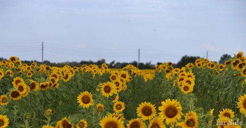 Sunflowers in rows