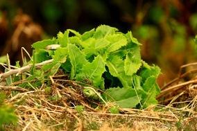 Tolpis azorica