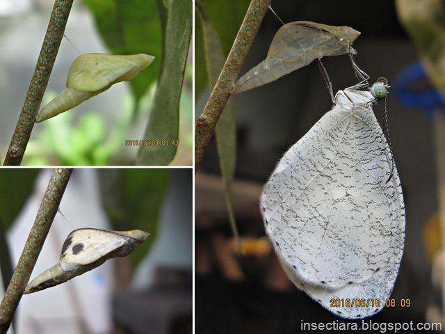 Kupu-kupu Leptosia nina baru menetas