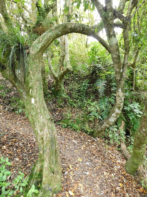 C14_NZ NI Te Urewera NP_2018-05-12_DSCN9450