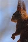 AH ! UN SUPPORTER !?Écureuil roux en hiver près d'une piste de ski