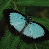 Pareronia jobaea jobaea BOISDUVAL, 1832. Warkapi, Arfak, août 2007. Photo : G. Zakine