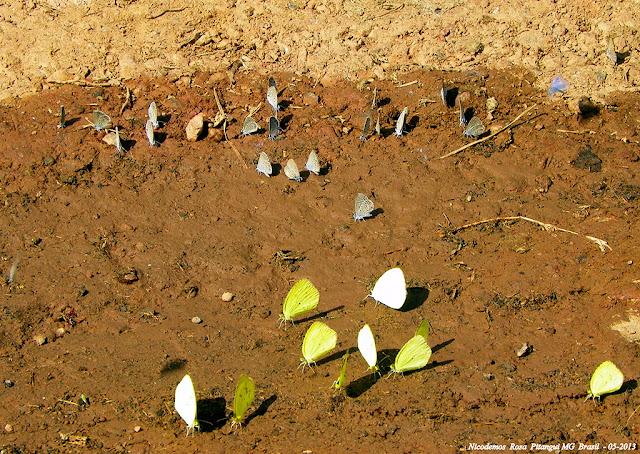 Au second plan : Hemiargus hanno (STOLL, 1790). Au premier et à gauche : Pyrisitia nise tenella (BOISDUVAL, 1836). À droite : probablement Eurema agave pallida (CHAVANNES, 1850). Pitangui (MG, Brésil), 22 mai 2013. Photo : Nicodemos Rosa