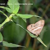 Euselasia melaphaea melaphaea (HÜBNER, 1823), mâle. Saül, novembre 2012. Photo : M. Belloin